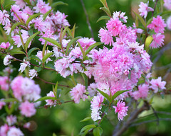 Flowering Almond (reneetellezphotography) Tags: flower nature garden bush colorful pretty gardening almond flowering select