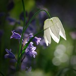 Bluebells and Snake's Head Fritillary