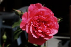 this rose is for the birthday of Fred (Charles&Fred) 14th of May (peterpeers) Tags: birthday rose verjaardag charles roos charlesfred thebestofday gnneniyisi