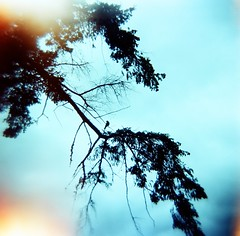 Soloist (liquidnight) Tags: above tree film birds animals silhouette oregon analog mediumformat portland holga spring lomo xpro lomography crossprocessed solitude alone branch kodak toycamera lightleak perch pacificnorthwest pdx analogue damaged solitary vignetting ektachrome pnw birdwatching daydream overhead 120n crystalspringsrhododendrongarden redwingedblackbird agelaiusphoeniceus e100g botannicalgarden