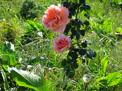 Wild roses (7th_cloud) Tags: flowers flores verde green primavera portugal nature rose canon spring flora natureza rosa vegetation aveiro g11 coth supershot natureselegantshots naturallywonderful
