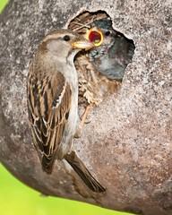 Snack Time (Jim McConnell) Tags: baby nature closeup nikon nebraska nest feeding mother birdhouse gourd sparrow d300s