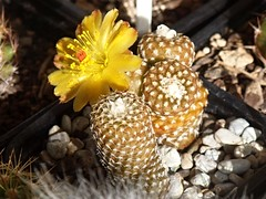 T5145269s (Maurice Grout) Tags: yellowflower cactusflower copiapoalaui