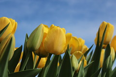 Yellow Tulips, May 5, 2013 (marylea) Tags: flowers blue yellow spring tulips bluesky yellowtulips may5 yellowandblue 2013