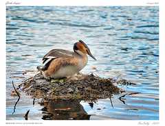 Grbe hupp | Crested grebe (BerColly) Tags: france nid google flickr nest auvergne puydedome grbe bercolly