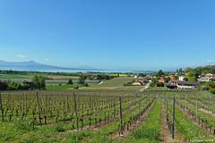 Pays de vaud (Diegojack) Tags: vignes paysages vaud aubonne