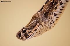 Russell's viper (Daboia russelii) (Ameyavikram) Tags: india russell viper venom russellsviper daboia snakesofindia deadliestsnakes