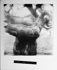 Under the Tamarind (angel pastor) Tags: bw tree byn monochrome polaroid arbol sx70 cool tip tamarindo pastor ilford impossible tamarind angelpastor silvershade px600