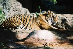Tigre (IRivero) Tags: japo flickr 2000