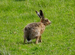 Brown Hare (sandlings) Tags: suffolk hare wildlife brownhare