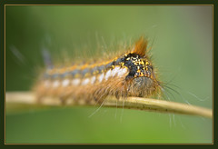 Drinker Moth Caterpillar (Full Moon Images) Tags: wood macro nature insect wildlife moth reserve caterpillar national monks cambridgeshire drinker nnr
