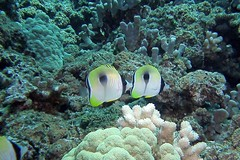 Hawaiian teardrops (BarryFackler) Tags: ocean life sea fish nature water ecology animal coral fauna island hawaii polynesia bay marine underwater pacific being dive scuba diving sealife pacificocean tropical marinebiology diver bigisland aquatic reef creature biology undersea kona ecosystem coralreef marinelife vertebrate zoology seacreature butterflyfish marineecology organism honaunau konacoast hawaiicounty southkona hawaiiisland 2013 honaunaubay teardropbutterflyfish chaetodonunimaculatus marineecosystem westhawaii konadiving lauhau bigislanddiving hawaiidiving sealifecamera barryfackler barronfackler cunimaculatus