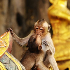 ,, First Kiss ,, (Jon in Thailand) Tags: thailand gold nikon kiss wildlife younglove jungle nikkor makingout monkeylove primates frenchkiss d300 firstkiss wildlifephotography asianwildlife 70300vr