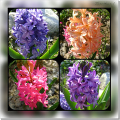 Hyacinths. (tarelkaz1) Tags: pink flowers blue macro green collage garden spring flora purple moscow memories topshots flickraward photosandcalendar flowersarebeautiful excellentsflowers natureselegantshots naturethroughthelens sonydscs730 theoriginalgoldseal mygearandme ipiccy