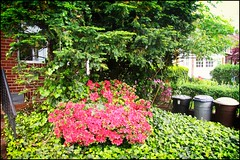 Sunnyside Gardens in Bloom 20 (The Whistling Monkey) Tags: flowers queens bloom springtime gardendistrict queensny sunnysidegardens sunnysidequeens sunnysideny nyneighborhood