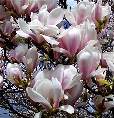 Sweet Magnolia .. (** Janets Photos **) Tags: uk flowers petals flora gales magnolia masterphotos artisticflowers takenwithlove mindigtopponalwaysontop lovelyflickr blinkagain thegoldenachievement goldenachievement dreamlikephotos takenwithhardwork