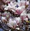 Sweet Magnolia .. (** Janets Photos **) Tags: uk flowers petals flora gales magnolia masterphotos artisticflowers takenwithlove mindigtopponalwaysontop lovelyflickr blinkagain thegoldenachievement goldenachievement dreamlikephotos takenwithhardwork