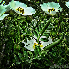 karncan... (ertugrulincel) Tags: world flower detail green animal animals golf ant ngc can kare animali hayat iek yeil sar karnca yaam doa bak detay bck