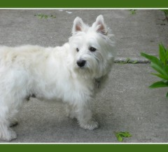 "5/12A ~ ""I Love Riley"" (ellenc995) Tags: love riley westie westhighlandwhiteterrier coth supershot coth5 naturallywonderful thesunshinegroup sunrays5 12monthsfordogs13"