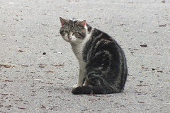 Grumpy feral cat (Moldovia) Tags: wild animal cat nose eyes feline looking tail ears stare pointandshoot catalog staring pointshoot feral catpix catspotting catmoments catnipaddicts catsunleashed fujifilmfinepixhs20exr