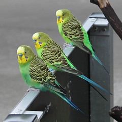 Budgie Line (Julia TortoiseHugger) Tags: green birds yellow three washington parrot line budgie wa tacoma pointdefiancezoo friendlychallenges