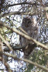 Barred Owl (Viggen61) Tags: birds newjersey raptors locations greatswampnwr canonef100400mmf4556lis barredowlstrixvariabdow