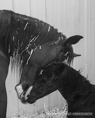 A Mother's Bond From Birth (bdierking) Tags: horse mare bond colt stud foal