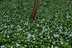 A carpet of wild garlic (IanAWood) Tags: chilterns buckinghamshire wildflowers ramsons wildgarlic alliumursinum woodgarlic flowersofspring ransoms coombehill bearleek buckrams d700 broadleavedgarlic nikkorafs70200mmf28gvr butlerscross walkingwithmynikon