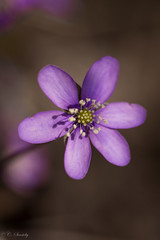 Purple Anemone Hepatica (nemi1968) Tags: flowers flower macro oslo closeup canon petals purple outdoor may petal anemone botanicalgarden botaniskhage nobilis markiii flowerportrait anemonehepatica canon5dmarkiii ef100mmf28lmacroisusm
