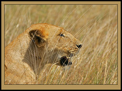 The Catcher in the Rye? (Rainbirder) Tags: kenya masaimara africanlion pantheraleoleo rainbirder