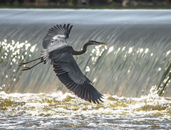 Geneva Dam 12 (Jan Crites) Tags: bird heron river illinois nikon geneva zoom dam wildlife sigma kanecounty foxriver greatblueheron d600 150500mm genevadam