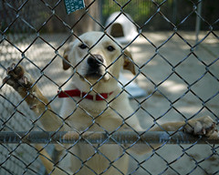 Gunther_02 (AbbyB.) Tags: rescue dog fence mix lab canine chainlink adopt mtpleasantanimalshelter