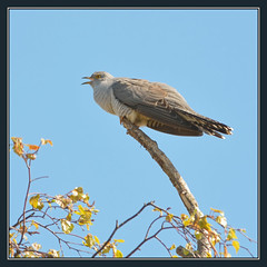 Cuckoo Calling (Full Moon Images) Tags: bird nature wildlife bcn reserve national trust fen cambridgeshire cuckoo woodwalton nnr greatfen