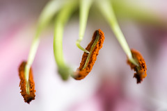 """占星百合花雄蕊花絲 Stamens of the Stargazer Lily (Lilium)"" / 自然微距攝影 Nature Macro Photography / SML.20130516.6D.06821"