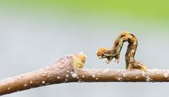 Tiny Catapillar [Explored] (bojangles_1953) Tags:
