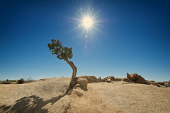Lone Cowboy (Allard Schager) Tags: california shadow usa sunlight tree nature america landscape outdoors daylight nationalpark spring nikon rocks unitedstatesofamerica icon negativespace vegetation april amerika lente iconic speedlight breathtaking juniper lonetree gettyimages californie intothesun spectacle solitarytree extremewideangle joshuatreenationalpark sanbernardinocounty riversidecounty flashgun 14mm sunstars beautyinnature directsunlight 2013 jeneverbes d700 nikond700 nikkor1424mmf28 nikonfx allardone allard1 nikonsb910 allardschagercom
