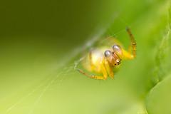 Cucumber Spider - 'Araniella cucurbitina'