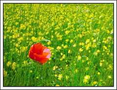 Alone (valpil58) Tags: red yellow spring papaver papaveri samsungwaves8500