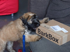 Is this for me? (skittlbrau) Tags: dog puppy almar softcoatedwheatenterrier barkbox gozerthedestructor