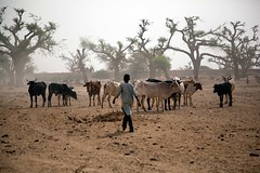 Humanitarian crisis in El Sereif (UNAMID Photo) Tags: cattle shepherd sudan tribes farmer fighting darfur arabs displacement goldmine idp northdarfur internallydisplacedpersons unamid tribalclashes massdisplacement elsereif reconcoliation