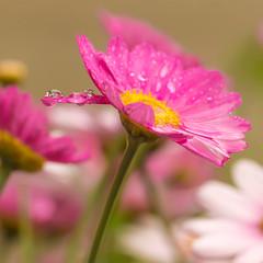 Wet (Esther Crauwels) Tags: pink macro water rain droplets drops nederland daisy lente regen roze tamron90mm margriet druppels 365days 365dagen sonya33