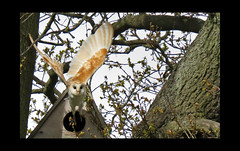 Barn Owl in flight (feefers3) Tags: bird barn scotland flying wildlife owl barnowl wildbirds scottishwildlife barnowlproject