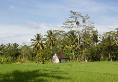 Rice fields near Ubud, Bali (maxunterwegs) Tags: bali house tree indonesia casa haus palm palmtree ricefield maison palma palmera palme baum ricepaddy indonesien reisfeld ubud paddyfield palmeira indonsia indonsie arrozal rizire tegallalang