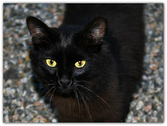 Good bye sweet heart (Viola & Cats =^..^=) Tags: cats pets angel blackcat panty felini felines tribute gatti