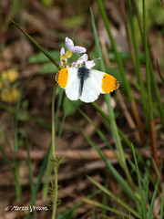 Orange tip E5131351revS (Preselector) Tags: orangetip anthochariscardamines rspbmiddletonlakesolympuse3