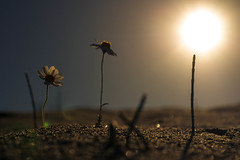 (AriannaP.) Tags: light sky italy sun flower roma colors nikon italia bokeh di mm 50 luce lido
