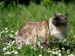 Praline  Olron (avril 2012) (home77_Pascale) Tags: animal cat canon chat printemps birman praline olron charentemaritime 2013 canoneos50d sacrdebirmanie