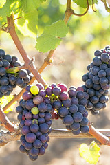 Bunches of Red Wine Grapes Hanging on Grapevine (JPLPhotographyPDX) Tags: red sun sunlight fall fruits leaves vertical vineyard vines purple wine background harvest blurred winery foliage grapes bunches hanging backlit agriculture twigs blanc winemaking cabernet sauvignon ripen