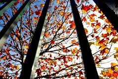 Autumn Fence Friday (missgeok) Tags: lighting autumn light orange nature colors beautiful yellow composition fence spectacular golden maple interesting focus bars colours angle artistic pov perspective sydney creative australia autumnleaves textures colourful framing lowangle selectivefocus hff colourtones angleofview steelfence nikond90 happyfencefriday