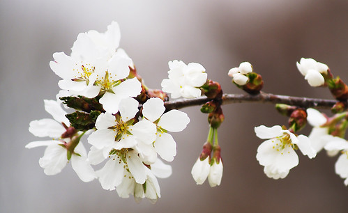 Weeping Cherry Tree in Bloom